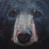Moon Bear (Asiatic Black Bear)